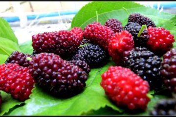 خواص فوقالعاده توت سیاه/ با این میوه سرطان را از خود دور کنید