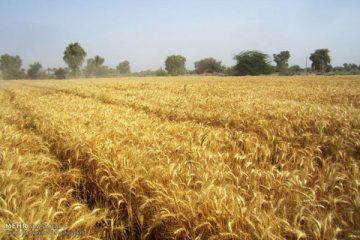 برداشت جو از سطح ۲۷ هزار هکتار مزارع کشاورزی قزوین آغاز شد