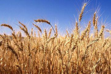 بیش از سه میلیون و ۳۰۰ هزار تن گندم در کشور خریداری شد