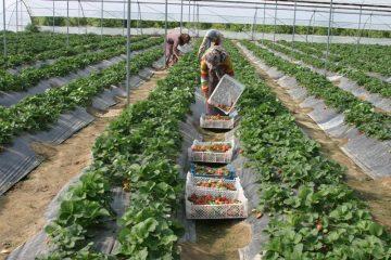 کشت گلخانه ای لازمه توسعه کشاورزی در قم